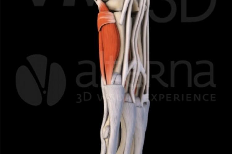 Muñeca, visión lateral.