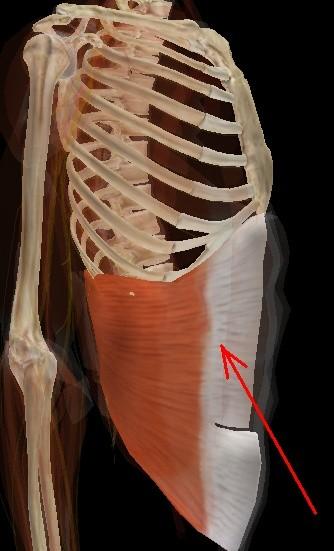 Muscular Tórax Visión Médica Virtual