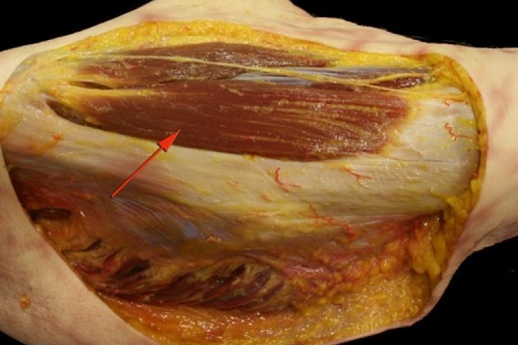Muscular Pelvis