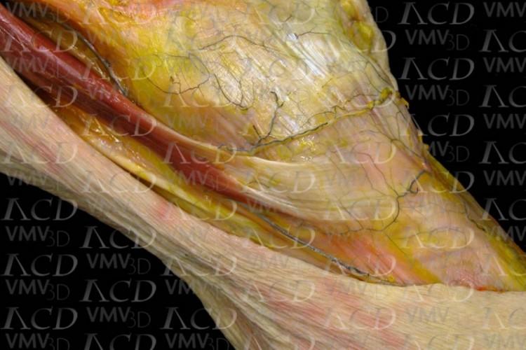 Músculo sartorio. Pata de ganso superficial.