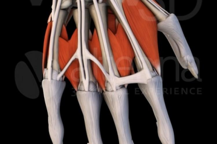Muñeca, visión dorsal.