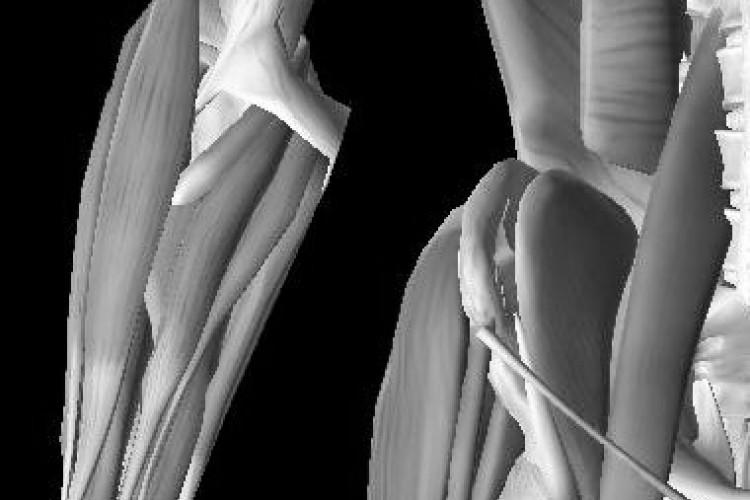 Visión anterior 3D cadera muscular