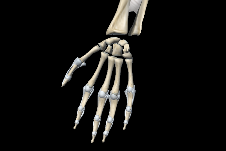 Anterior vision forearm and hand joint