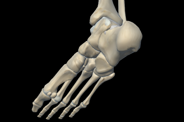 Plantar vision of the foot ankle joint