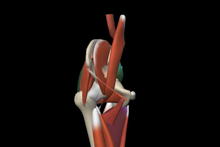 Visión sagital estructura muscular pelvis