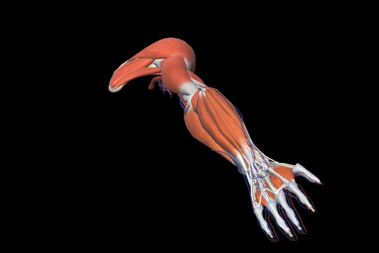 Vision estructuras musculares extremidad superior