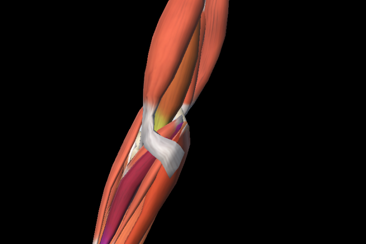 Anterior view 3D elbow