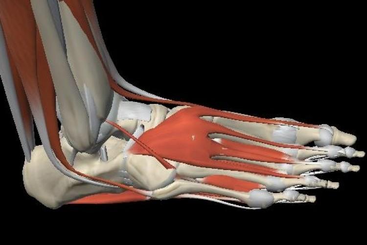 Muscular foot view