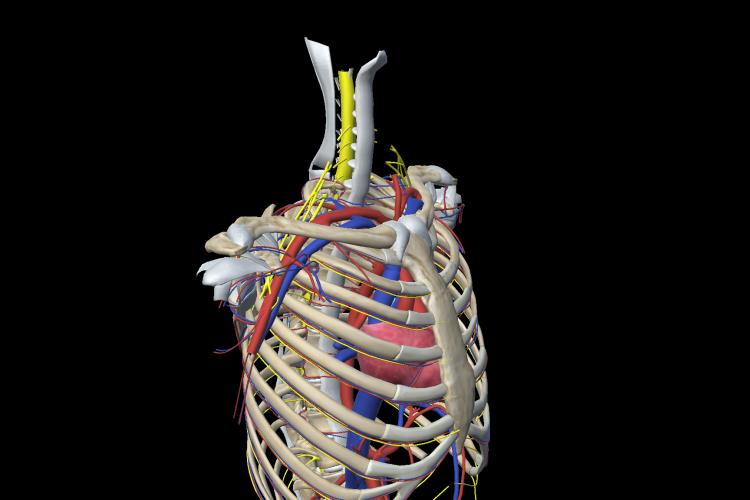 Visión estructuras vasculares y nerviosas de la cintura escapular