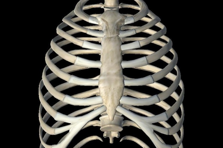 Vertebrae, ribs and sternum view