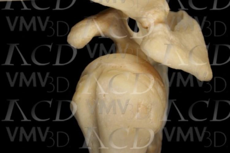 Cintura escapular ósea. Visión lateral.