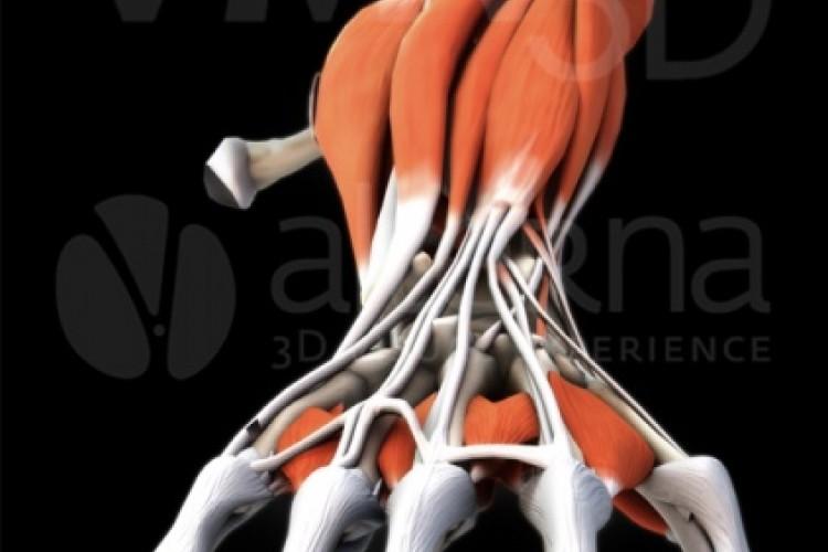 Muñeca y mano, visión dorsal.