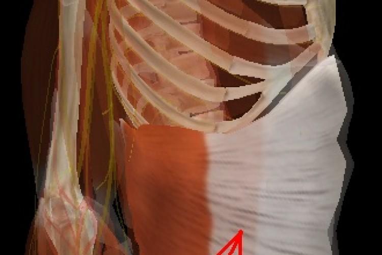 Muscular Tórax
