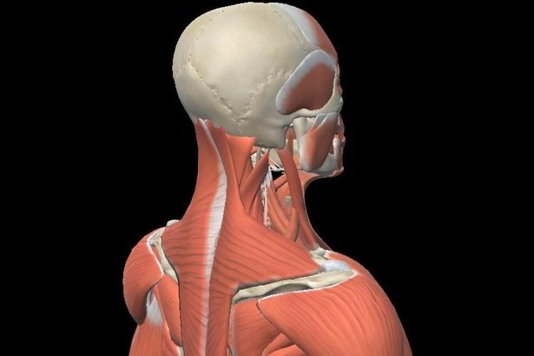 3D Shoulder view