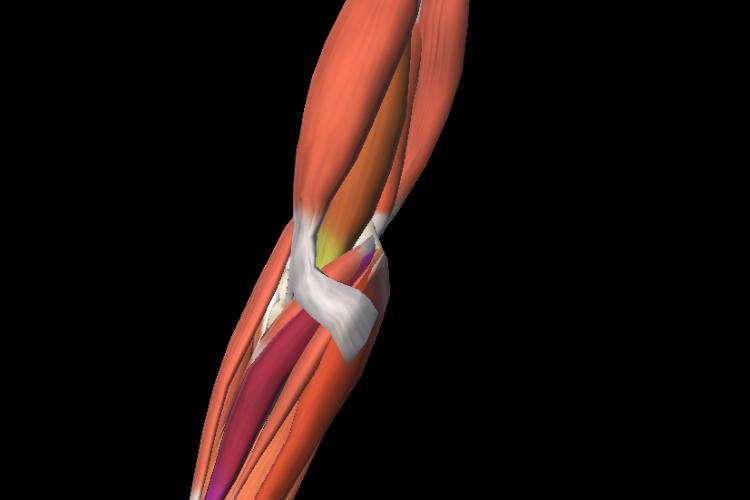 Anterior view 3D elbow