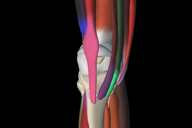 Anterior view muscular knee estructures